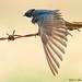 Tree Swallow 3891