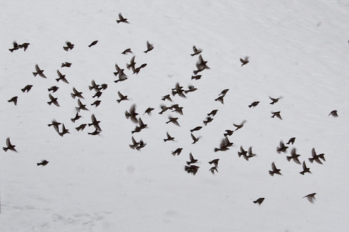 birds on snow | by chrisglass