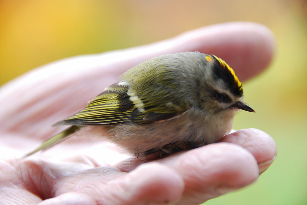 Golden Crowned Kinglet!! | This lil baby bird was on our ...