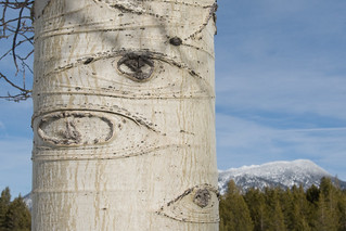 Eyes on Birch Tree | by Eliya