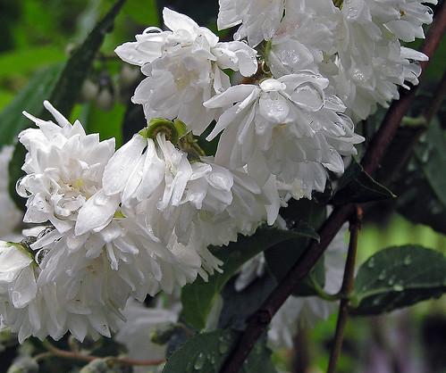 Fiori bianchi philadelphus virginalis philadelphus for Nomi di fiori bianchi
