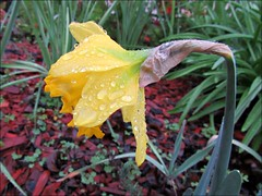 Daffodil and raindrops