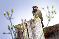 Pardal comum - Passer domesticus - House Sparrow | by Paulo Bico