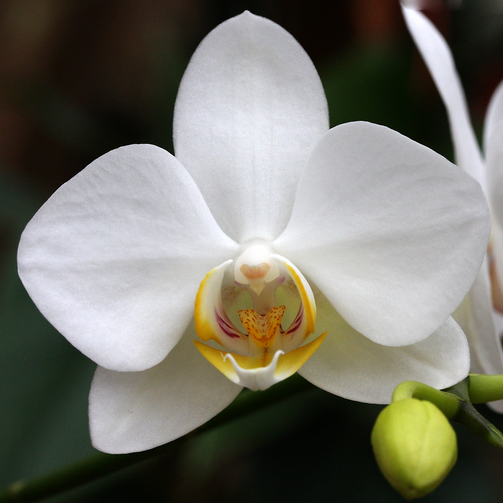 White Orchid With Yellow Center Thomas Grim Flickr