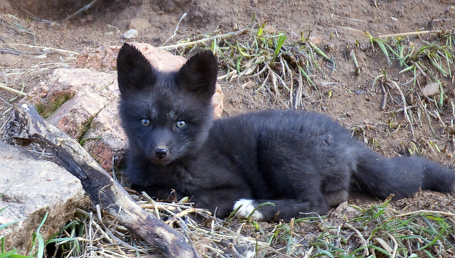 Foxy Baby | Red Fox, silver phase coloring. Horsetooth ...