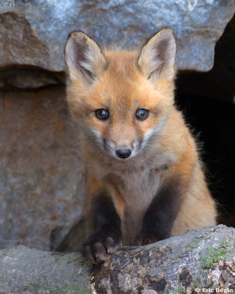 Red Fox Pup Wild 4 Of 16 I Went Hicking Today Along