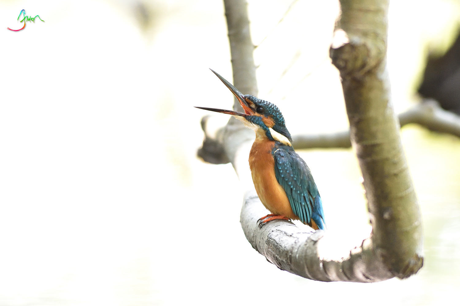 Common_Kingfisher_3109
