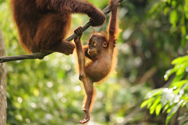 orangutan livescience com