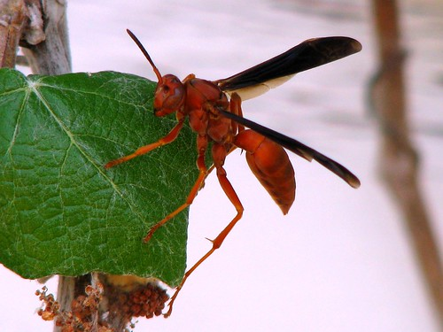 red paper wasp Identify wasps with other coloration paper wasps native to north america are golden brown with patches of red and yellow distinguish these from the baldfaced hornet, which is white and black striped with a white face.