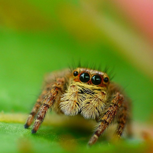 Jumping spider on SunPatiens | by coniferconifer