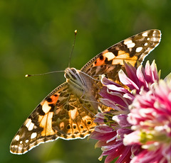 Painted Lady | by PollyMM