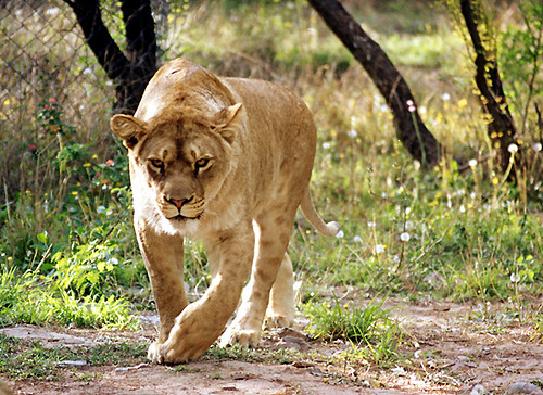 Lioness at Lohi Bher W...