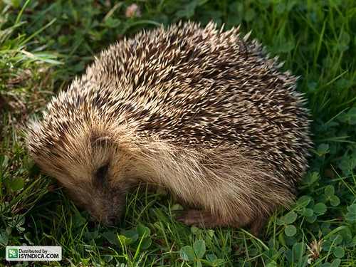 Cute sleeping hedgehog pictures! - Page 2 - Hedgehog Central ...