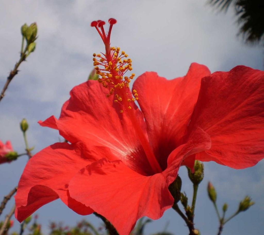 Hybiskus hibiscus rosa siensis shoeflower spanish hibis flickr hybiskus by chevalblanc hybiskus by chevalblanc izmirmasajfo