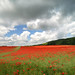 Poppy field with clouds