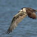 Osprey on Blue