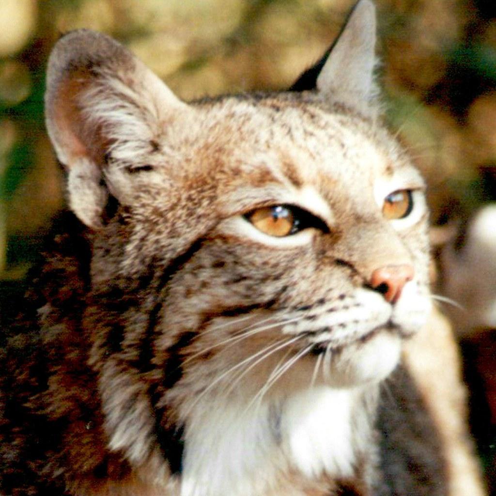 Big Cat Rescue Cleocatra Cougar