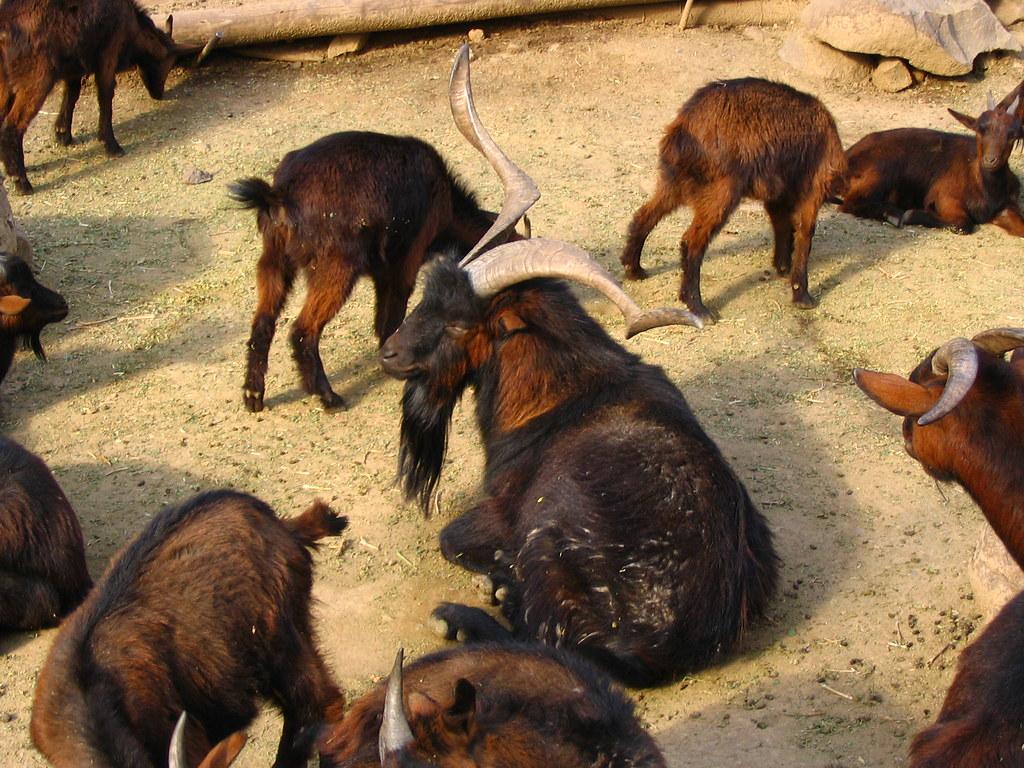 Resultado de imagen de cabras de juan fernandez