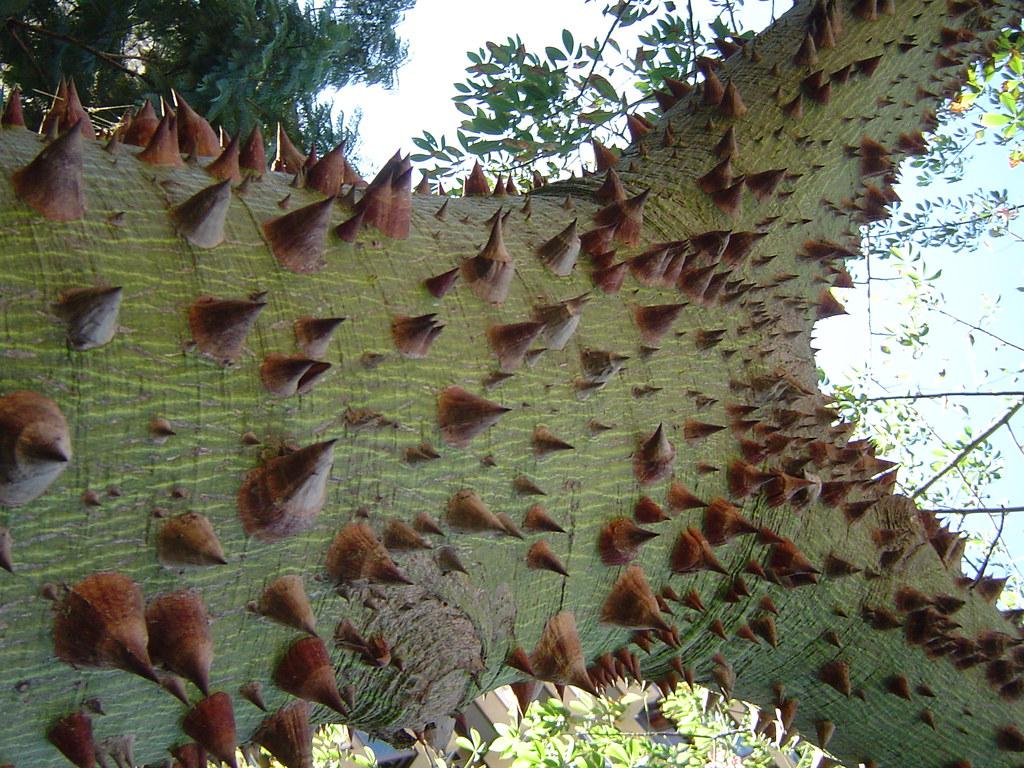 Palo borracho- detalle de las puas en el tronco y ramas-Má