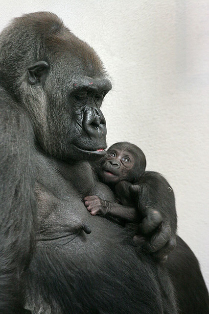 evade and survive gorilla mother and child trying to survi flickr