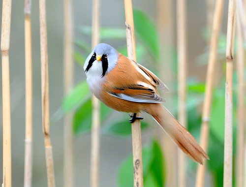 Male Bearded Reedling | by chapmankj75