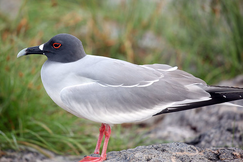 Swallow-Tailed Gull | by dmmaus