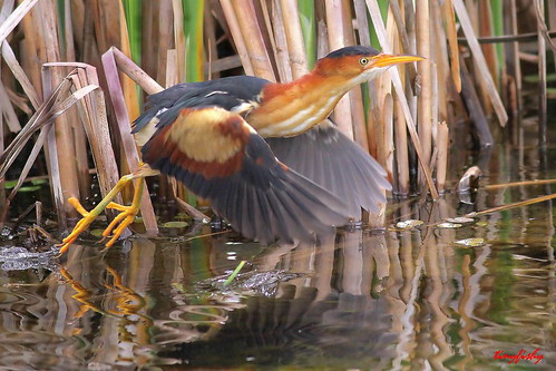 Improved : Least Bittern | This LEAST BITTERN is one of ...