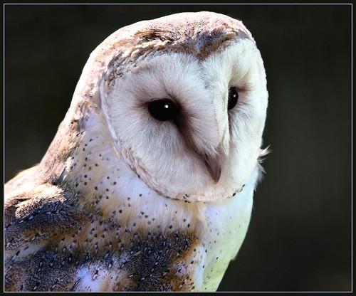 Barn Owl Close Up Tyto Alba Latin Name Tyto Alba Uk