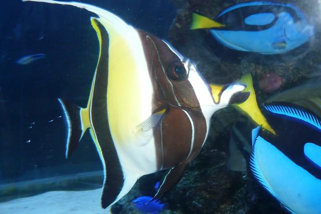 Gill from Finding Nemo - Moorish idolGill From Finding Nemo