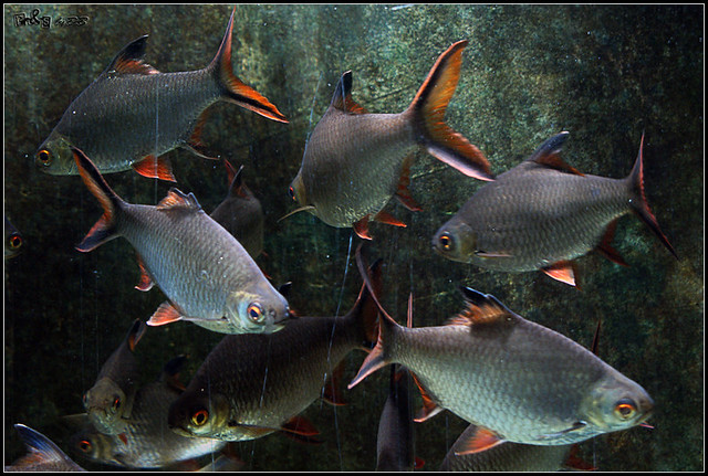 Red-tailed Tinfoil Barb (Barbonymus altus) | Ikan Lampam