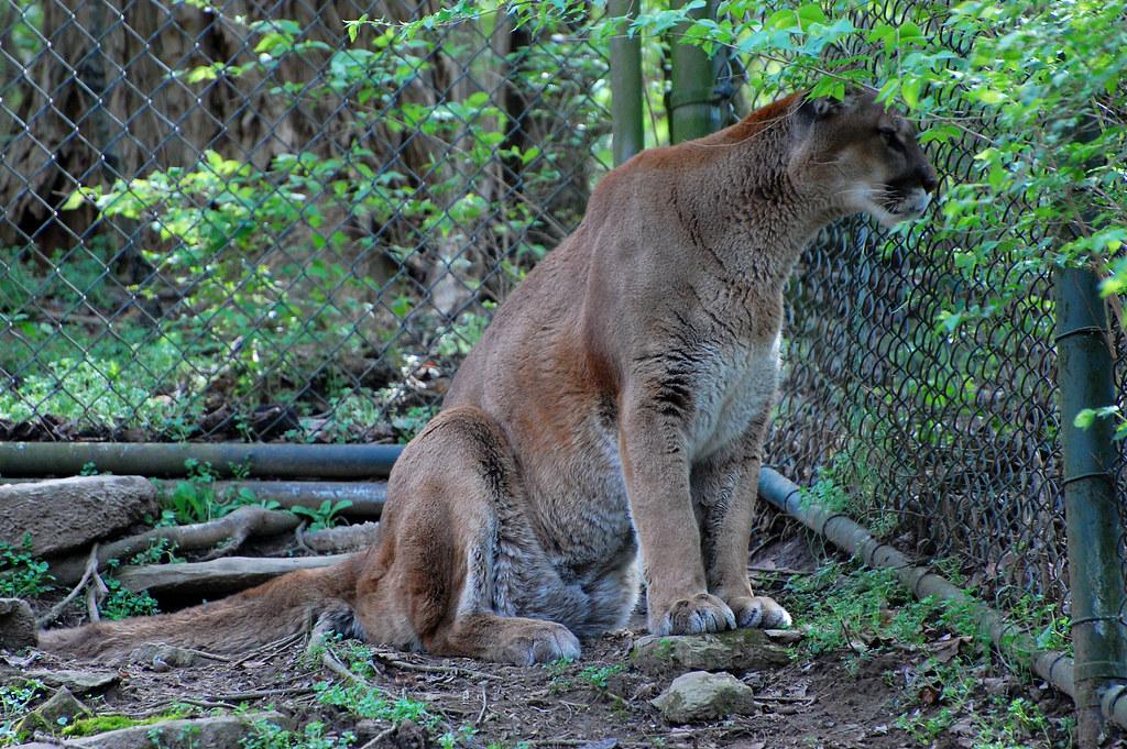 nashville cougars