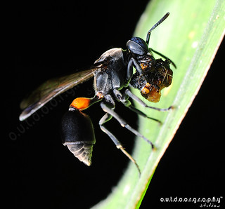 Blue Eyed Hornet :) | by Sir Mart Outdoorgraphy™
