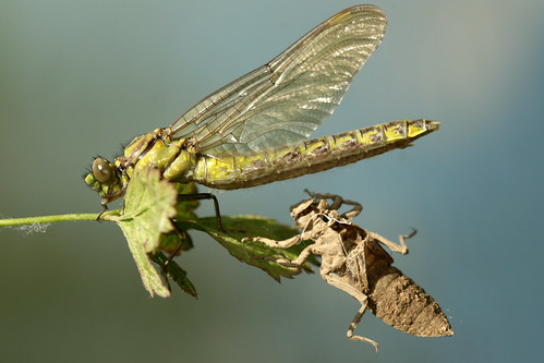 dragonfly on a leaf emerging from its larval skin