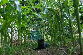logan among the backyard corn [tribute to Lars van de Goor] | by woodleywonderworks
