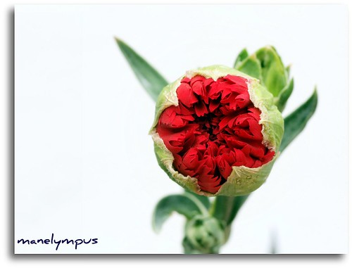 "Dianthus caryophyllus ""Seam"" 