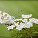 الفراشة البيضاء - White butterfly