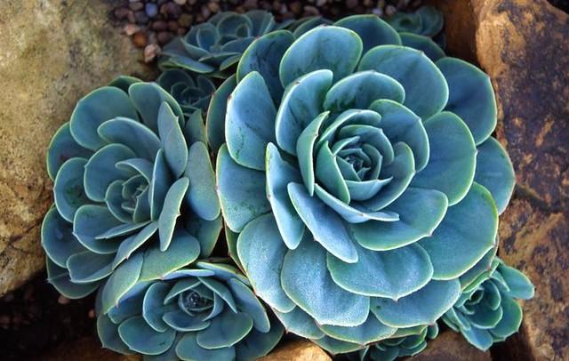 Echeveria Glauca Succulent Elin B Flickr