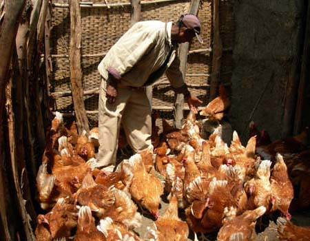 Small Scale Poultry Production In Ethiopia A Small Scale