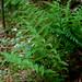 Athyrium asplenoides? Southern Lady Fern
