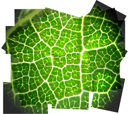 Leaf lace puzzle | Mulberry leaf under the microscope; a ...