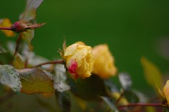 yellow rose with a pink spot | by this lyre lark
