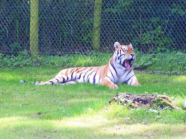 photo |Bengal Tiger Tired