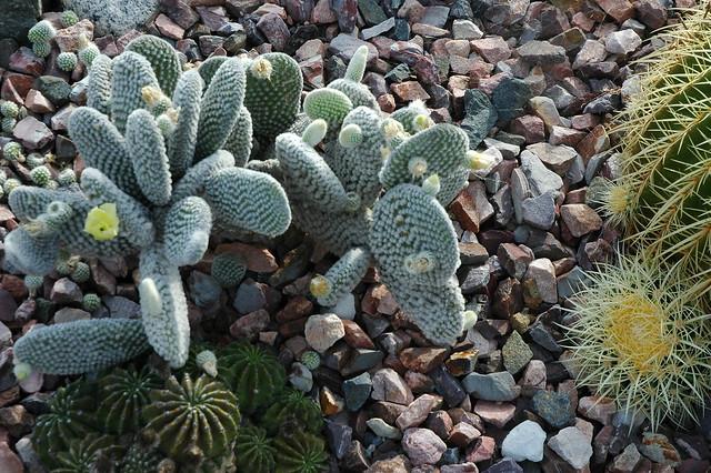Three Kinds Of Cactus Meditation Garden Self Realization Fellowship Encinitas California
