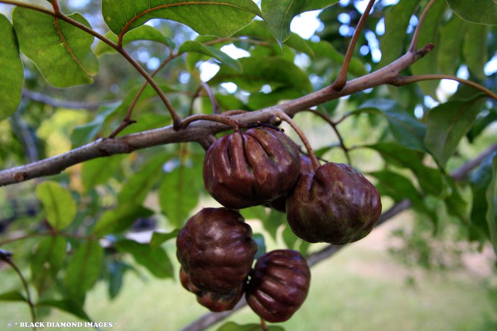 Burdekin Plum Timorense Burdekin Plum