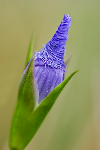 Fringed gentian | by billd_48