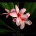 Rare Flowers - A Plumeria Seedling