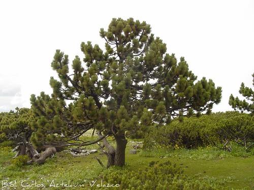pino negro hartweg 39 s pine pinus hartwegii habitat flickr. Black Bedroom Furniture Sets. Home Design Ideas