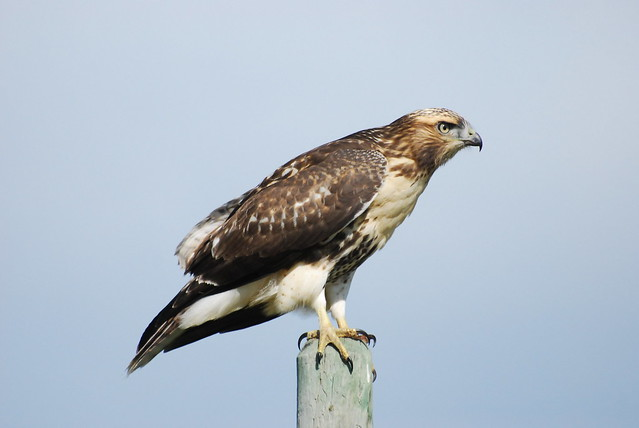 Recent Photos The Commons Galleries World Map App Garden Camera Finder    Juvenile Red Tailed Hawk Identification