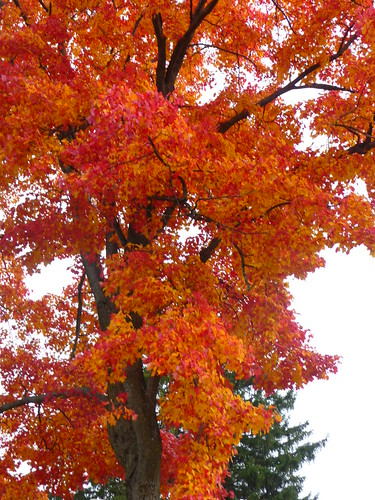 Cadillac Michigan A Sugar Maple Tree In The Historic Cit Flickr