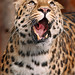 Leopard looking funny